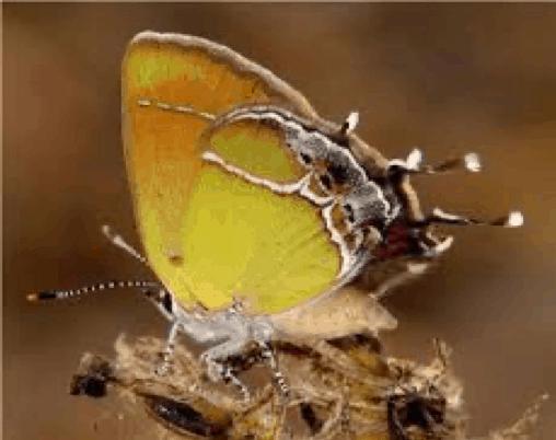 Xami Hairstreak (Callophrys xami)