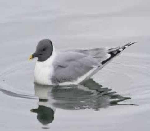 File:Xema sabini -Iceland -swimming-8 (1).jpg - Wikimedia Commons