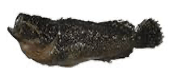 Xenaploactis asperrima