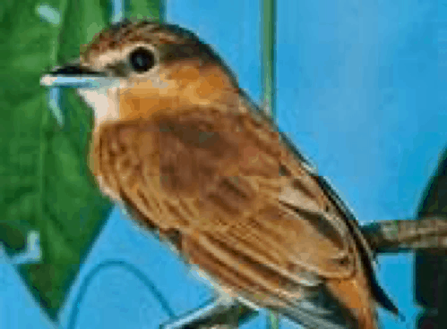 Xenicidae | bird family | Britannica