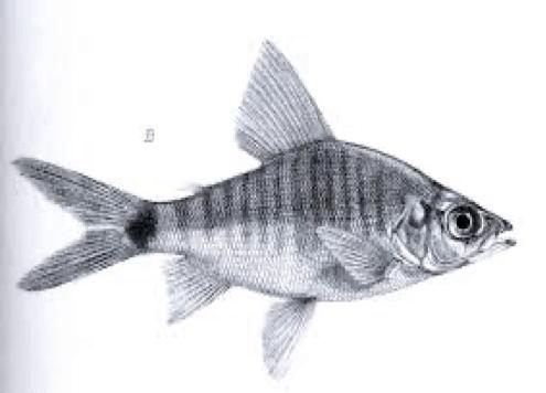 Xenocharax spilurus - Wikipedia