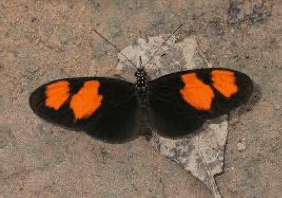 Butterflies of Amazonia - Heliconius melpomene