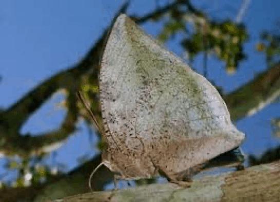Xenocrates Leafwing (Polygrapha xenocrates)