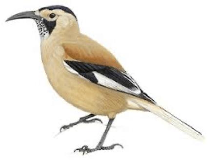 Illustrations - Xinjiang Ground-Jay - Podoces biddulphi - Birds of the World